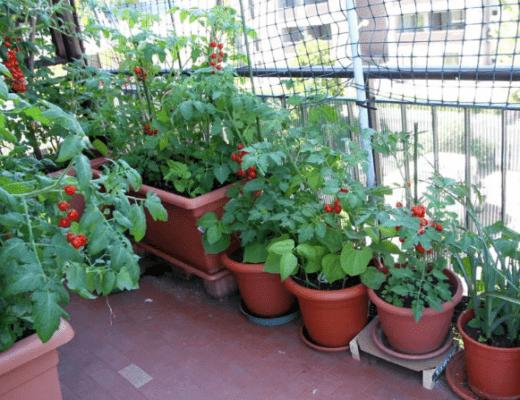 Помидоры на балконе советы и секреты выращивания. Как ухаживать, самоопыляемые сорта.