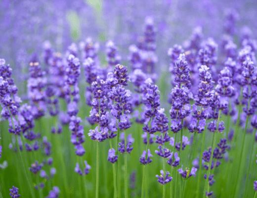 Лаванда особенности выращивания, посадка и уход. Как вырастить лаванду из семян.
