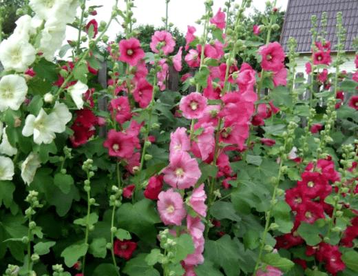 Шток роза особенности цветка, сорта, виды, уход. Когда сажать шток розу семенами, рассадой.