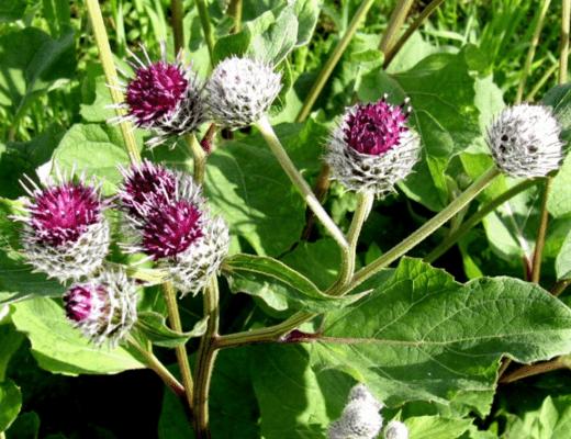 Что за растение Лопух описание. Лопух лечебные свойства, применение в народной медицине.