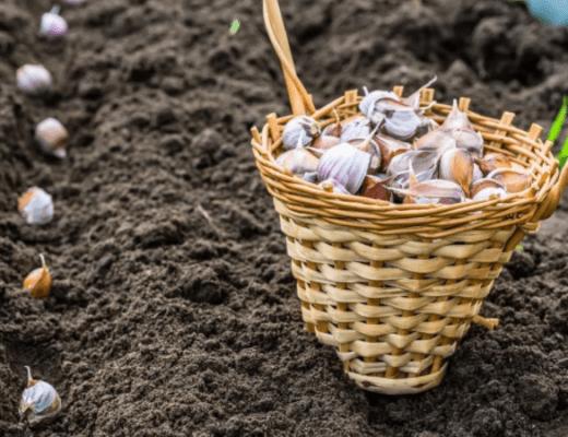Когда сажать озимый чеснок, какие сорта лучше. Как правильно посадить озимый чеснок.
