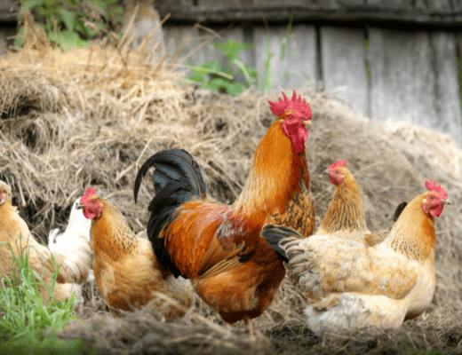 Нужен ли петух курам. Несет ли курица яйца без петуха. Как петух оплодотворяет курицу. Как из яйца вырастить цыпленка.