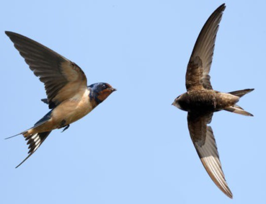 Птицы стрижи и ласточки 2 класс окружающий мир. Какая птица стриж, а какая ласточка: описание, сравнение, фото. Сходство и различие стрижа и ласточки окружающий мир.