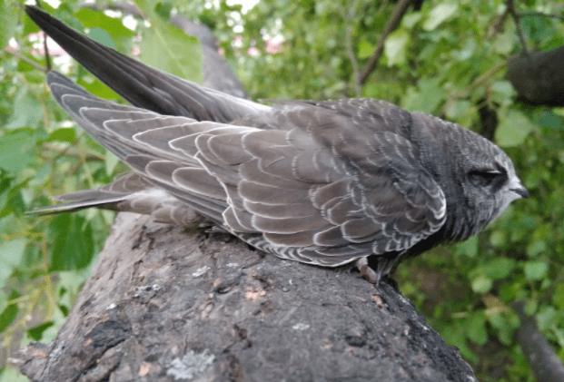 Стриж птица