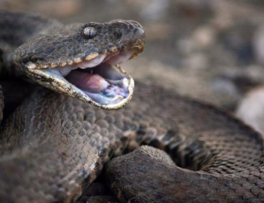Самые ядовитые змеиРоссииТОП 7. Оказание первой помощи при укусах ядовитых змей.