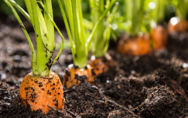 Как подготовить семена моркови к посадке. Способы посева моркови без прореживания. Приспособления для посева моркови.