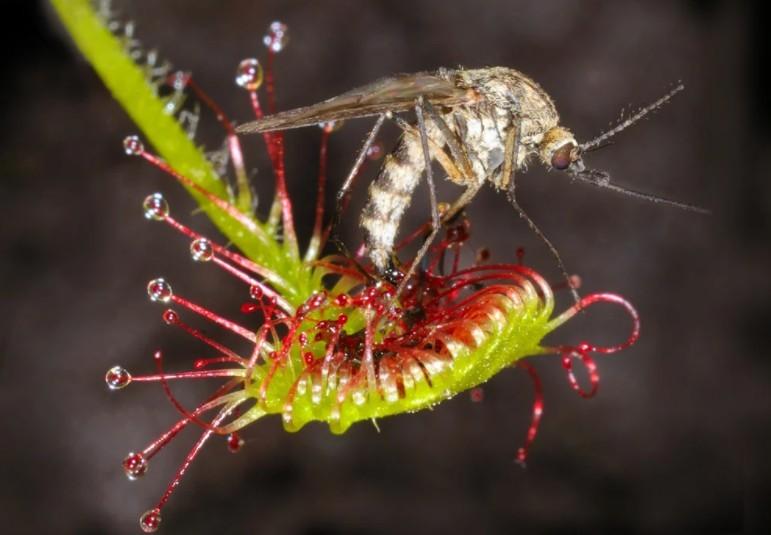 Росянка поедает комара