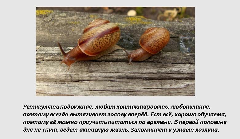 Виды улиток ахатин фото и название