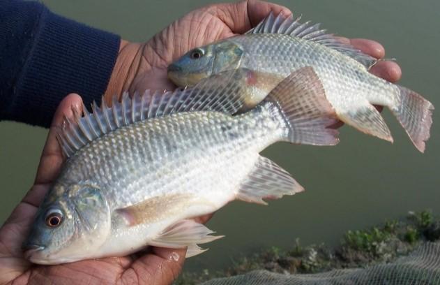 Тилапия что за рыба где водится чем питается